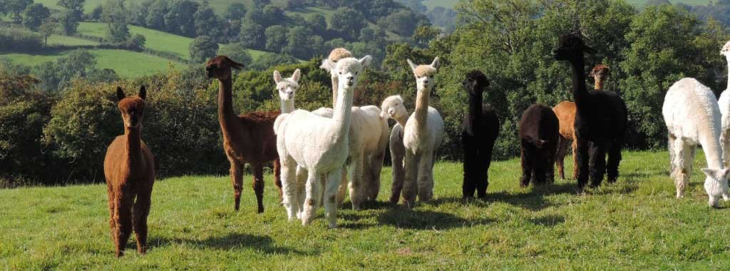 Alpacas of Wales girls - beautiful breeding female alpacas